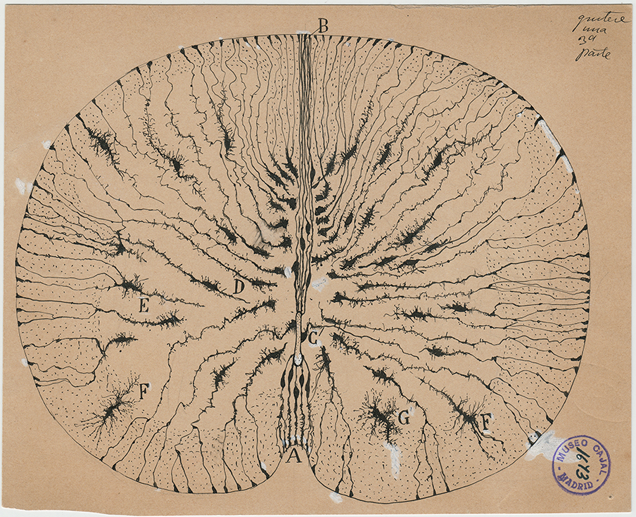 Hand drawing of mouse spinal cord